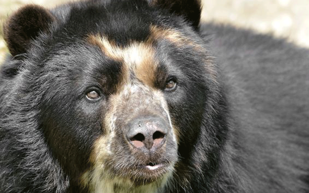 Rehabilitation of the Andean Bear in Venezuela